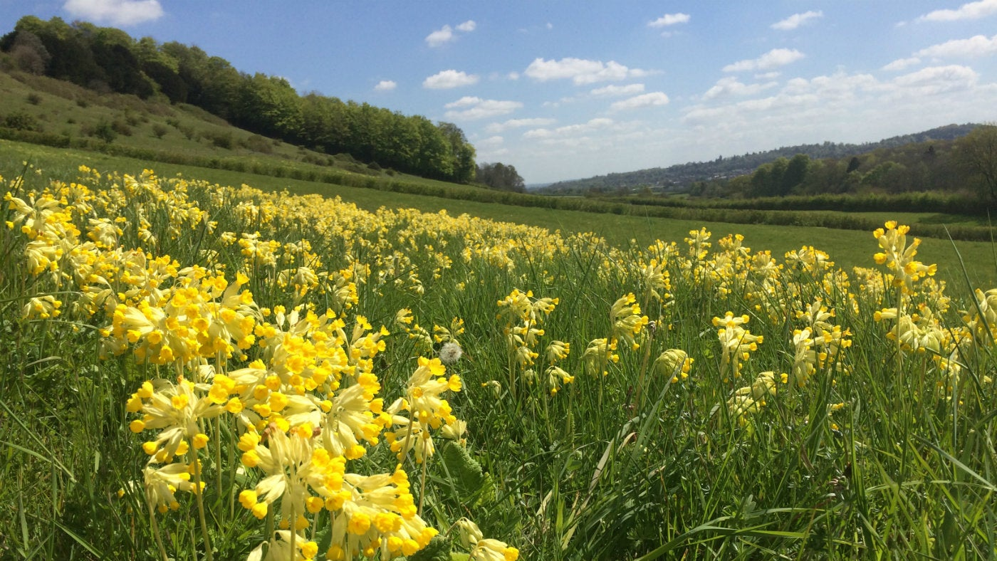 Cowslips on Denbies Hillside Surrey