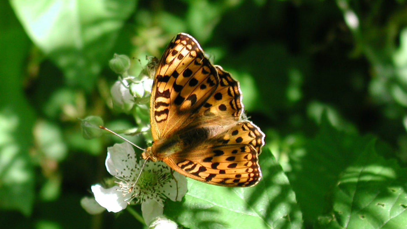 High Brown Fritillary on a green leaf in the sun