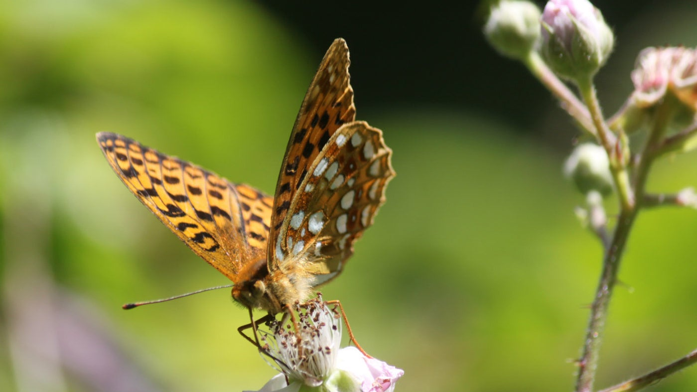 High Brown Fritillary in the sun on a plant