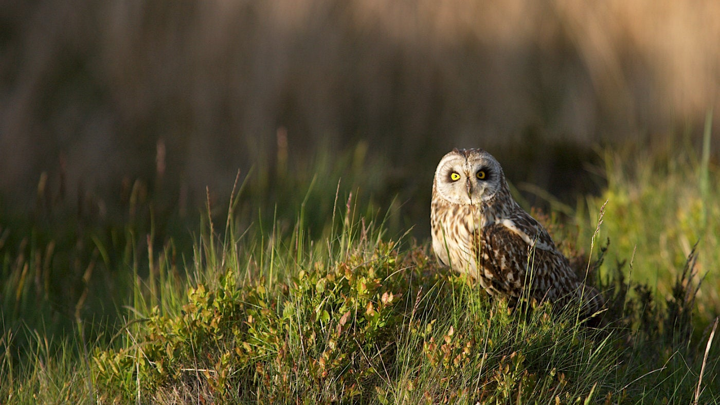 Short eared owl sat on grass mound