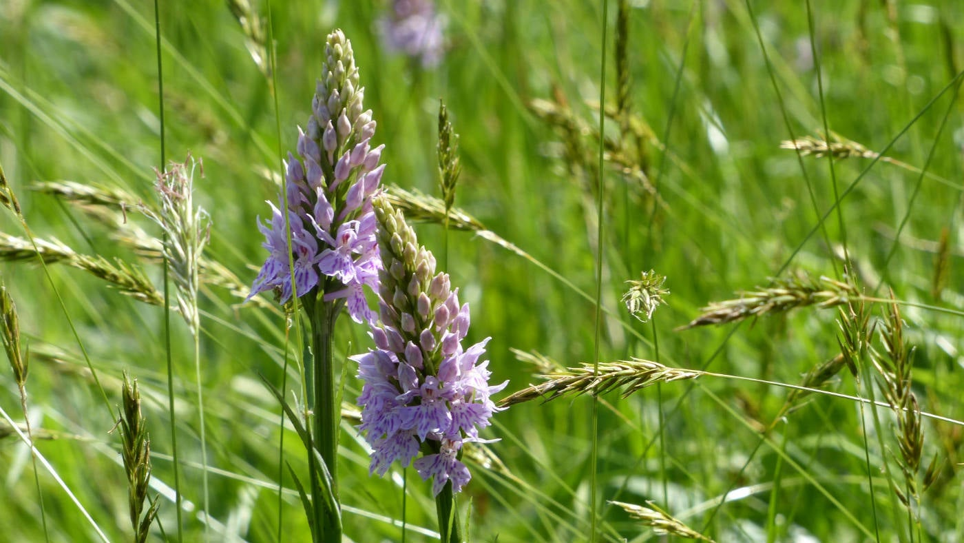 Common Spotted Orchid around Hudswell Woods