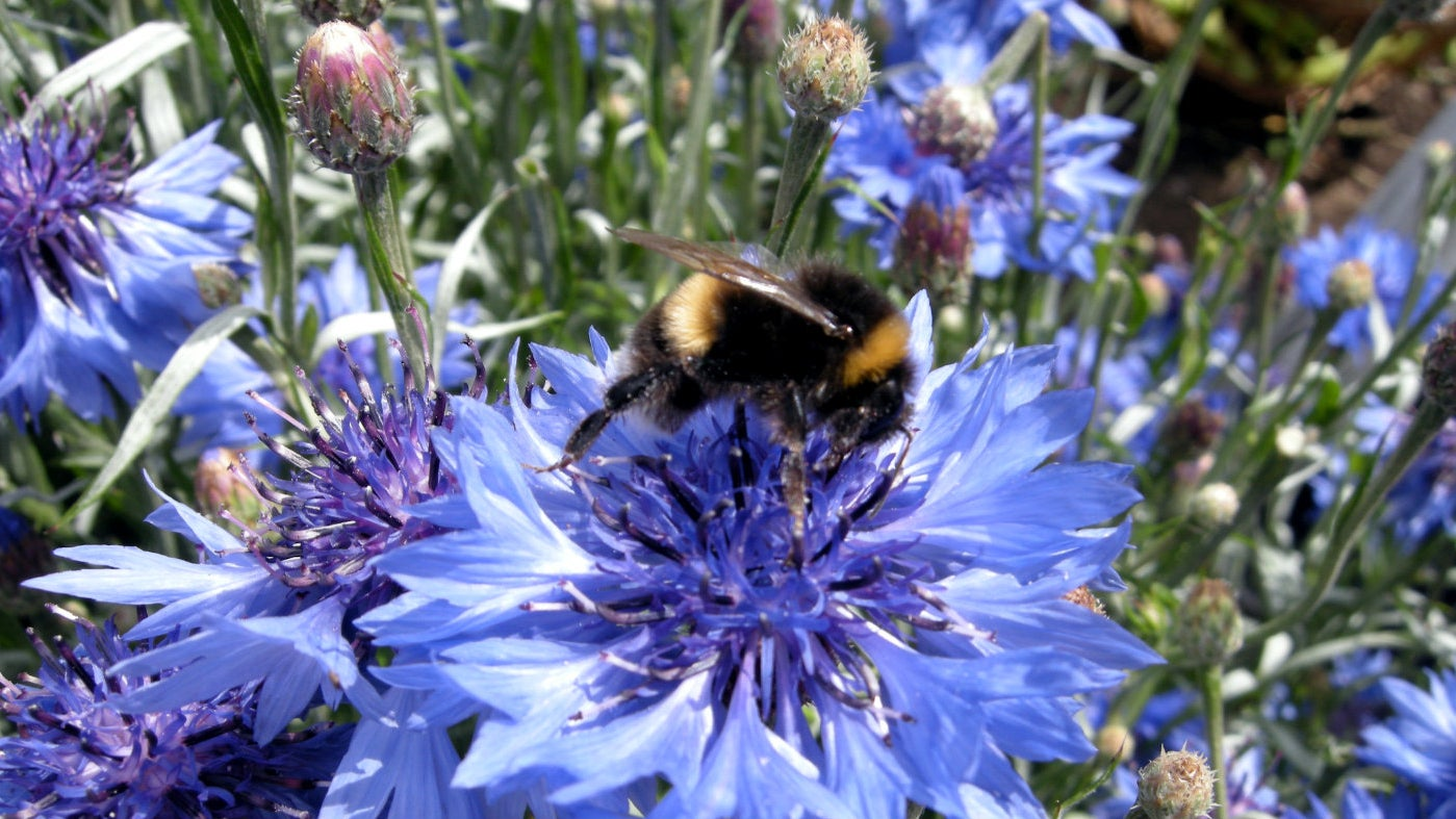 Bee on a blue cornflower