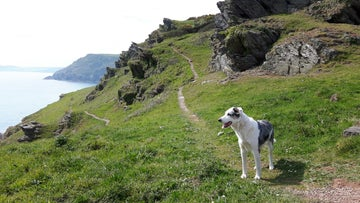 A dog on Pencarrow headland, Cornwall