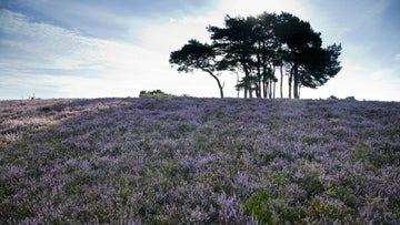 Purple heather around a clump of trees at Ibsley Common in the New Forest, Hampshire