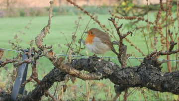Robin sitting on the pear arch inWinter