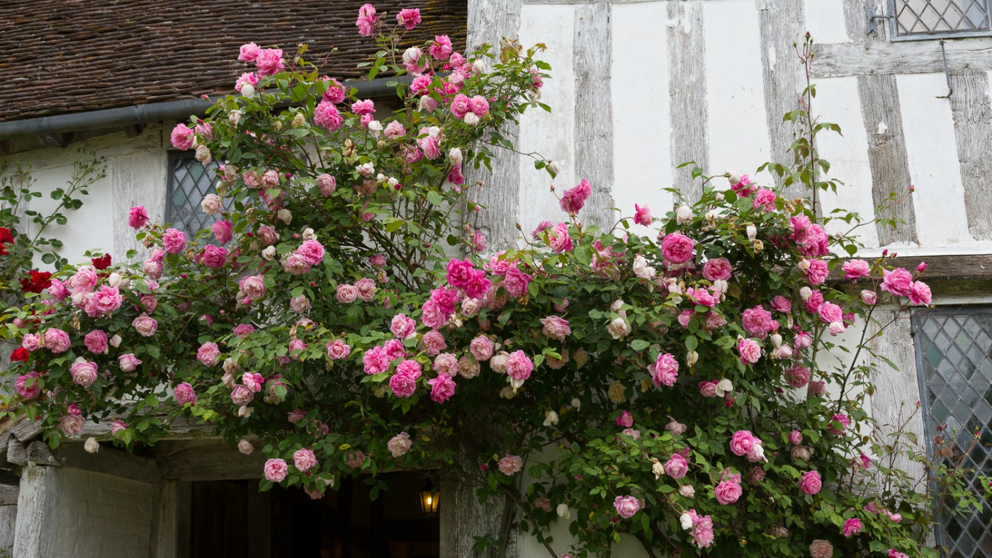 pink roses climb on the front of the timber framed manor house