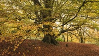 Beech tree in autumn colour
