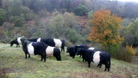 Belted Galloway cattle on Headley Heath