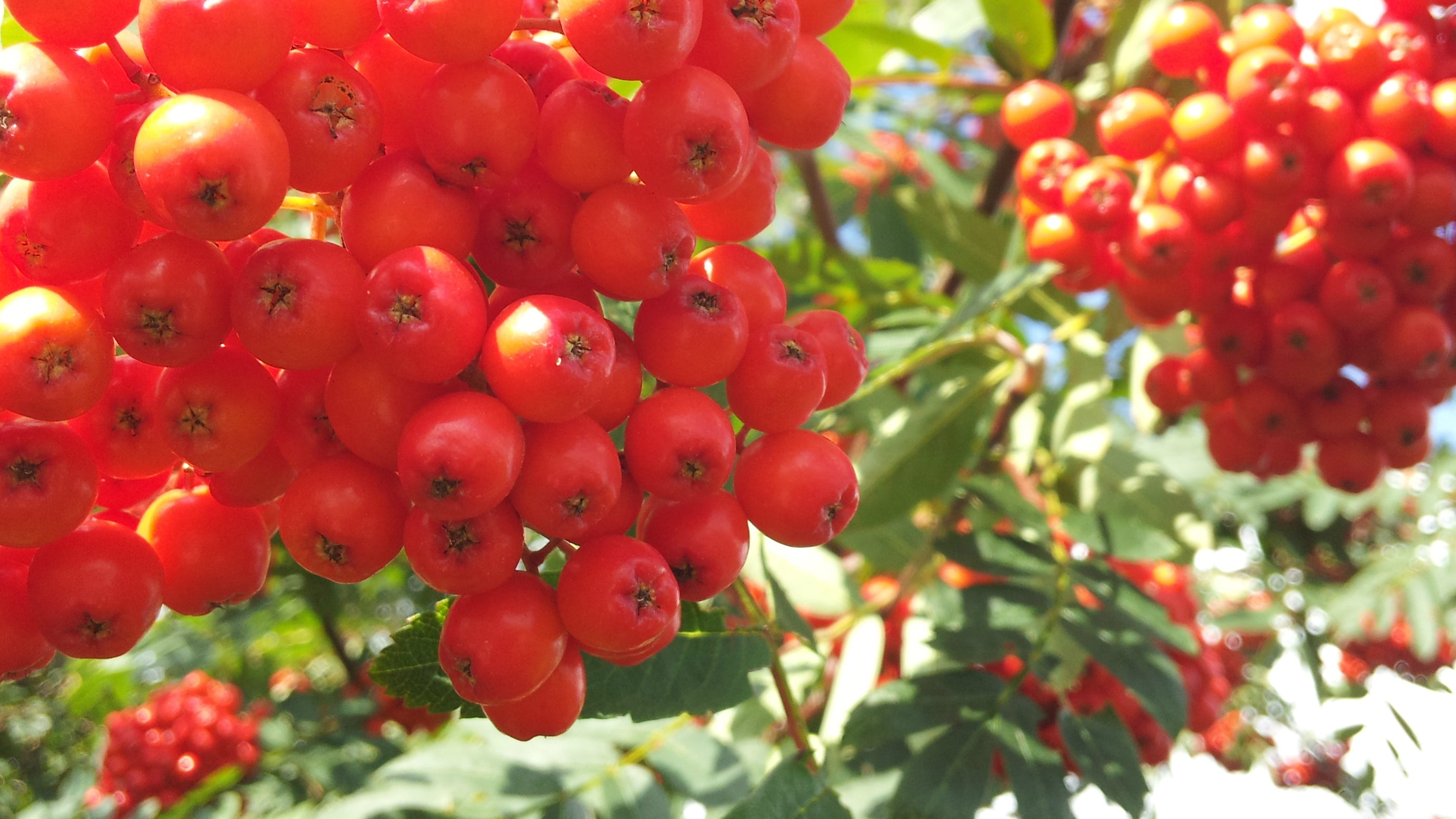 Glorious Red Rowan at Thurstaston Common Cheshire Countryside