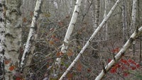 Birch trees on Witley Common Surrey