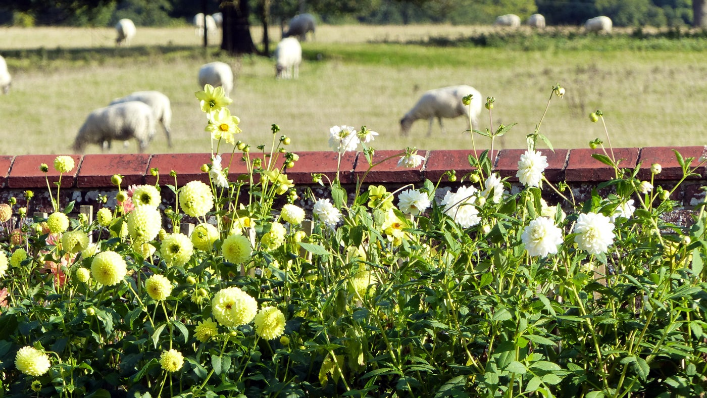 Looking over the sheep from the dahlia border