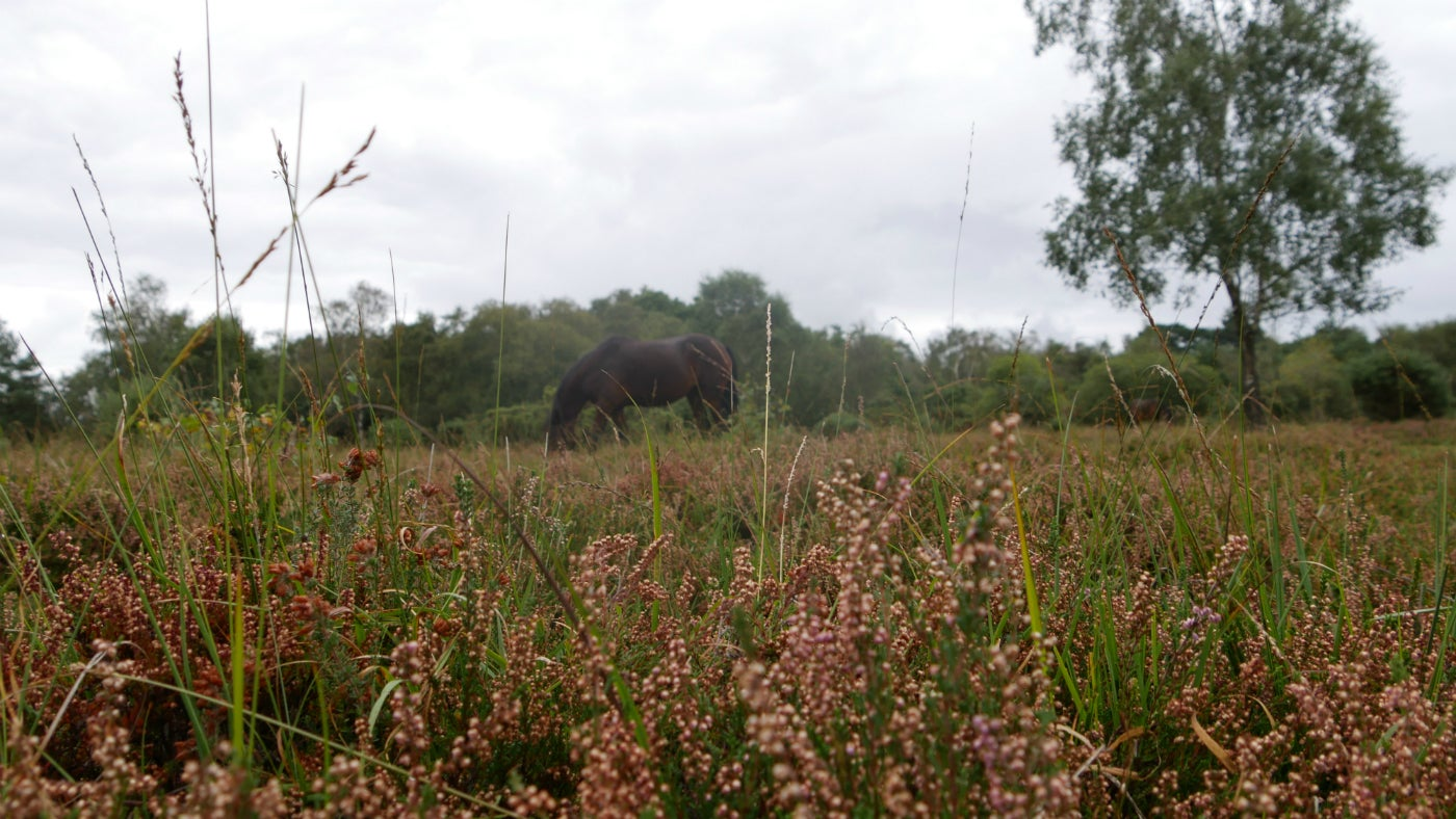 A pony grazes on Hightown Common in the New Forest, Hampshire