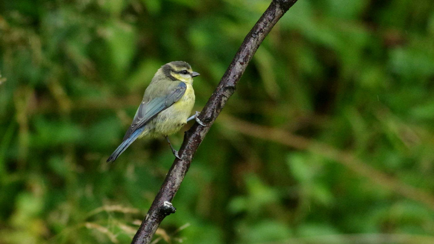 A blue tit in the wetlands at Calke Abbey, Derbyshire