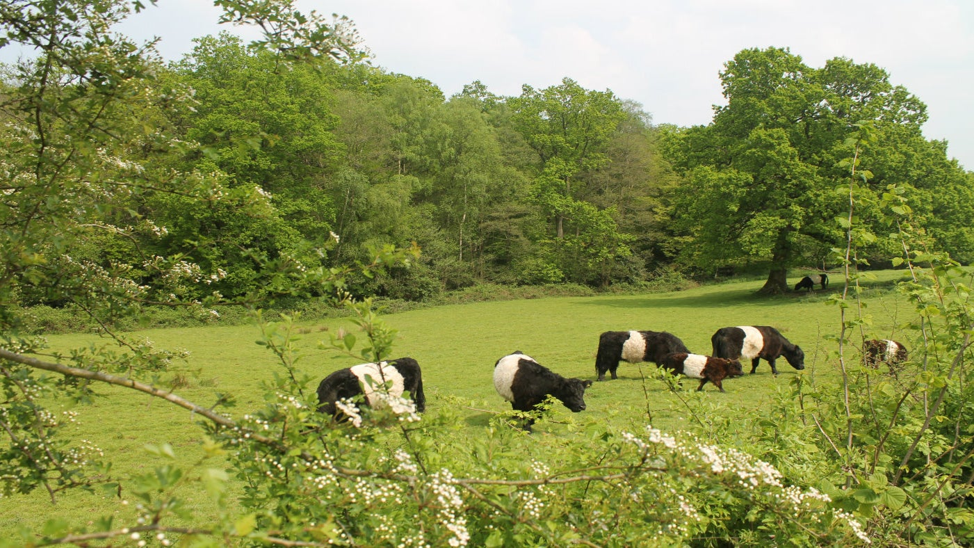 Belted galloway cows with calves in field
