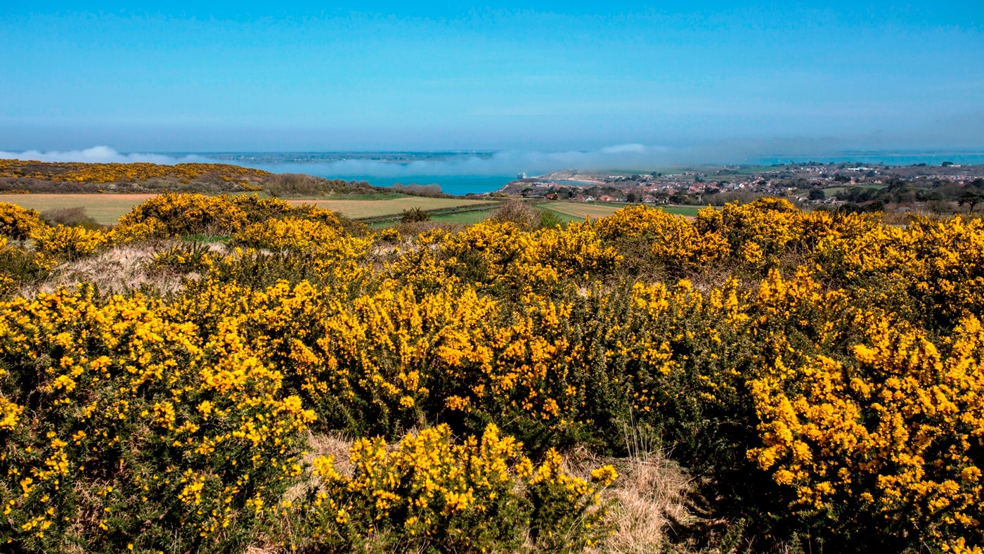 A bright spring morning with mist over the Solent and bright yellow gorse on Tennyson Down