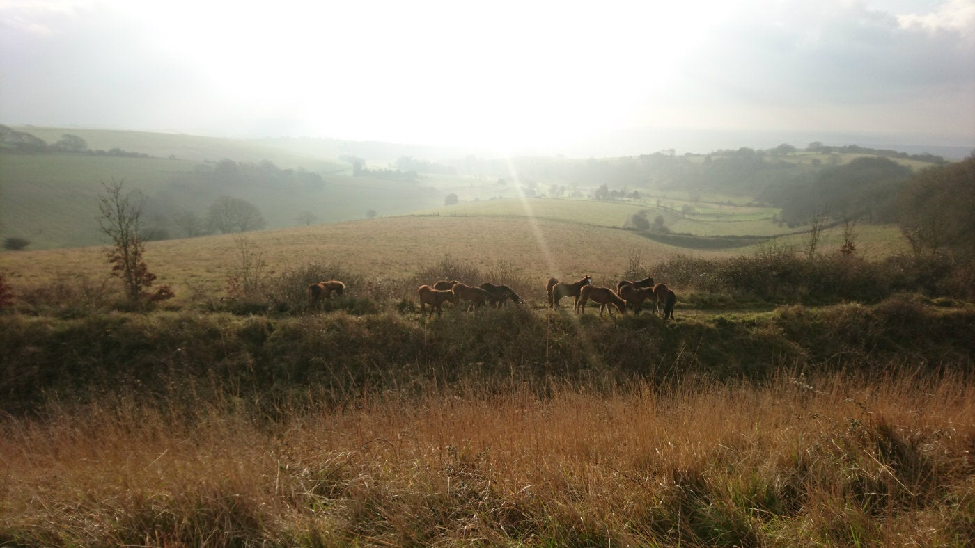 New Forest Ponies conservation grazing on CissburyRing