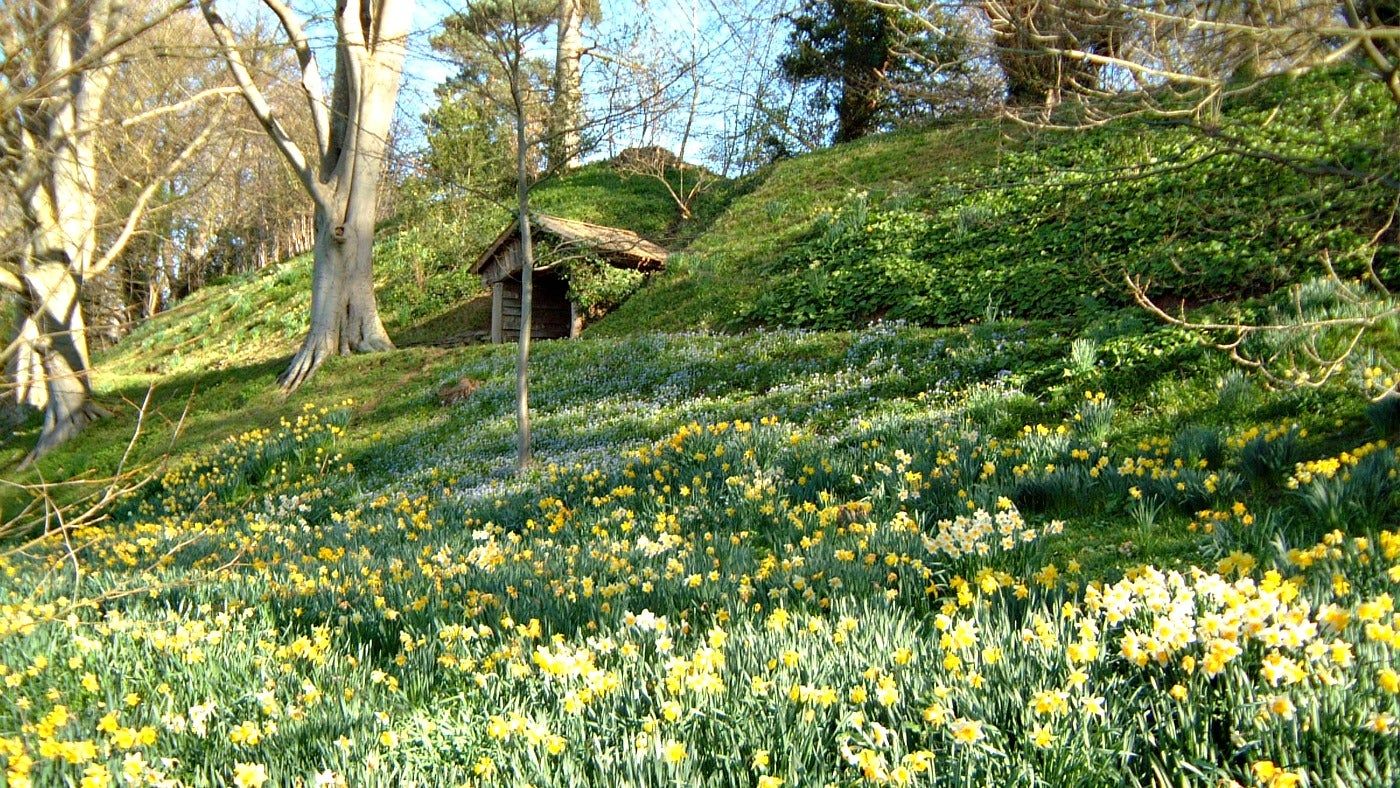 a slope of daffodils