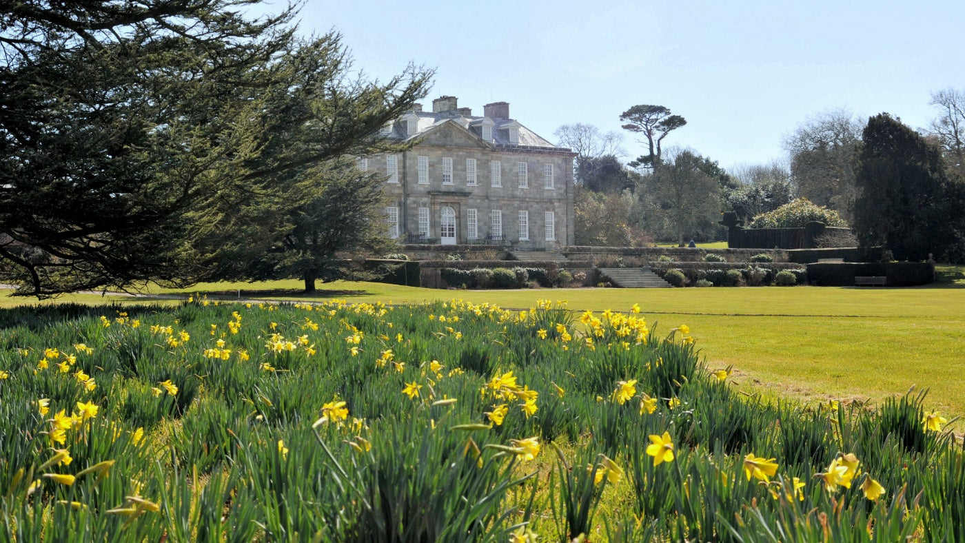 Looking towards Antony house over a bed of daffodils