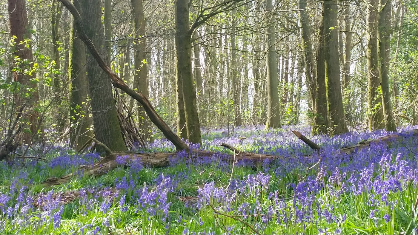 Bluebell woods at Hinton Ampner