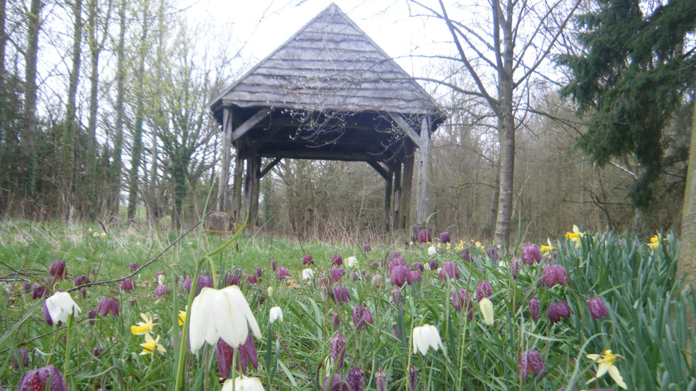 Snake's head fritillary on the pokehouse wood walk at Croft Castle in Herefordshire