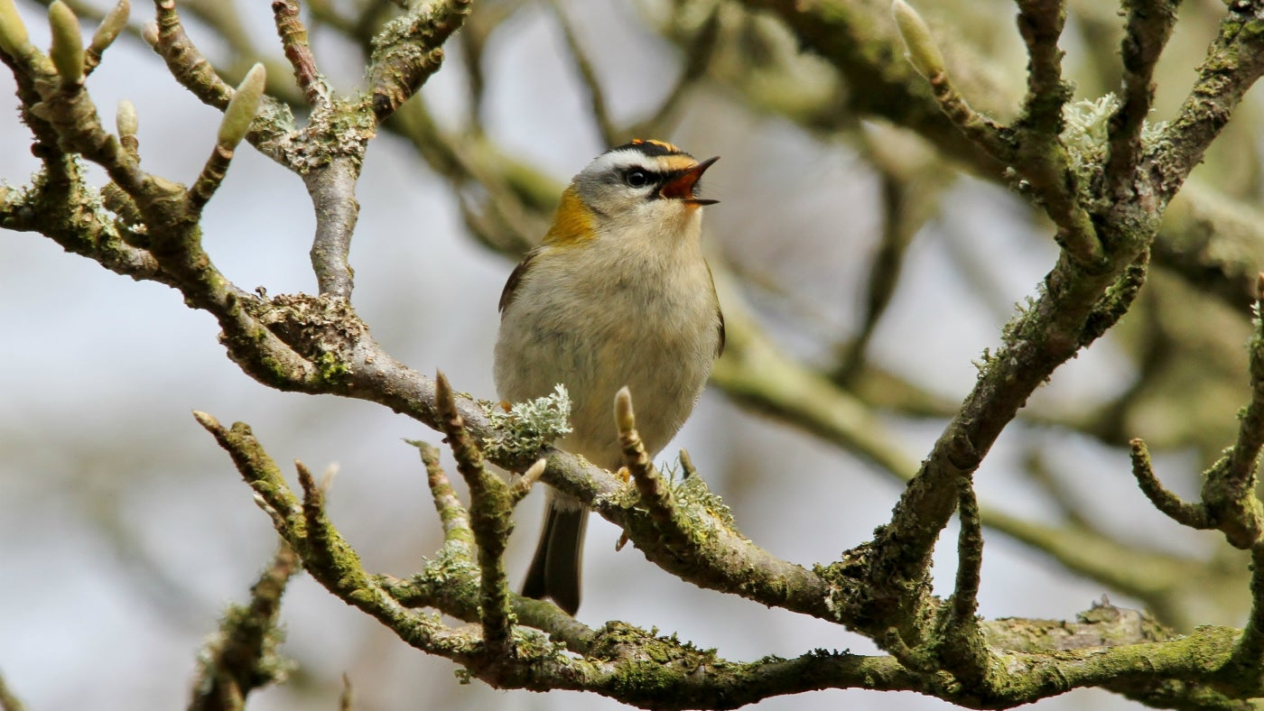 Firecrest singing at Sheringham Park