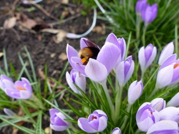 Bumble bee and crocus