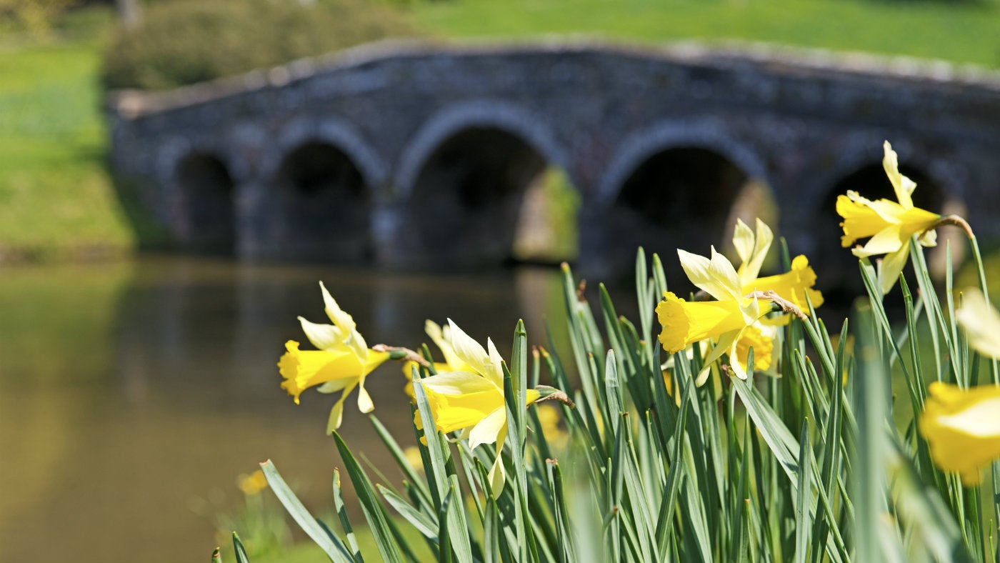 Daffodils by the Palladian Bridge at Stourhead