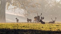 Group of fallow bucks at Ashridge Herts