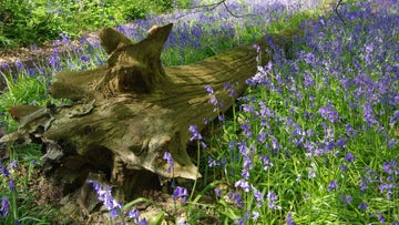 Bluebells in the woods at Calke Abbey in Derbyshire