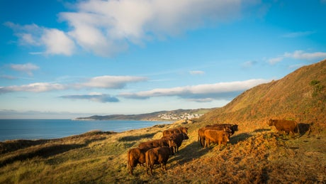 Woolacombe sand dunes cows