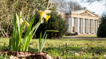 photo of a daffodil with temple greenhouse in background