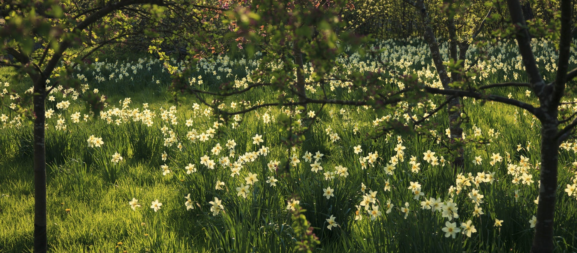 How to create an amazing daffodil display | National Trust