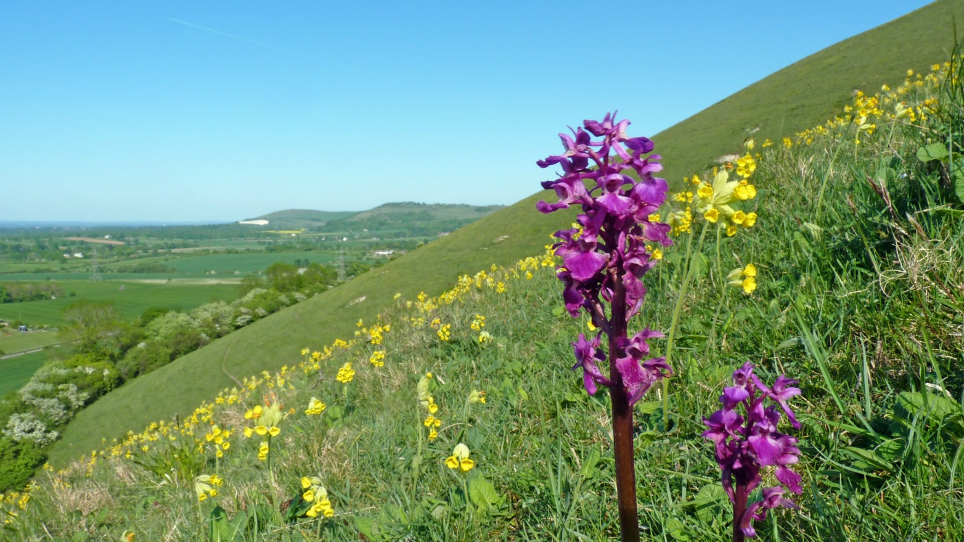 Early Purple Orchid surrounded by cowslips on the south downs