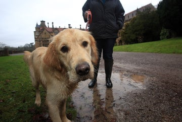 A golden labrador looks into the camera in front of Tyntesfield house