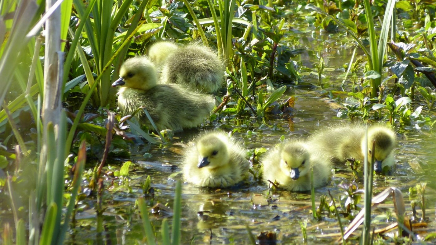 Goslings at Bookham Commons Surrey