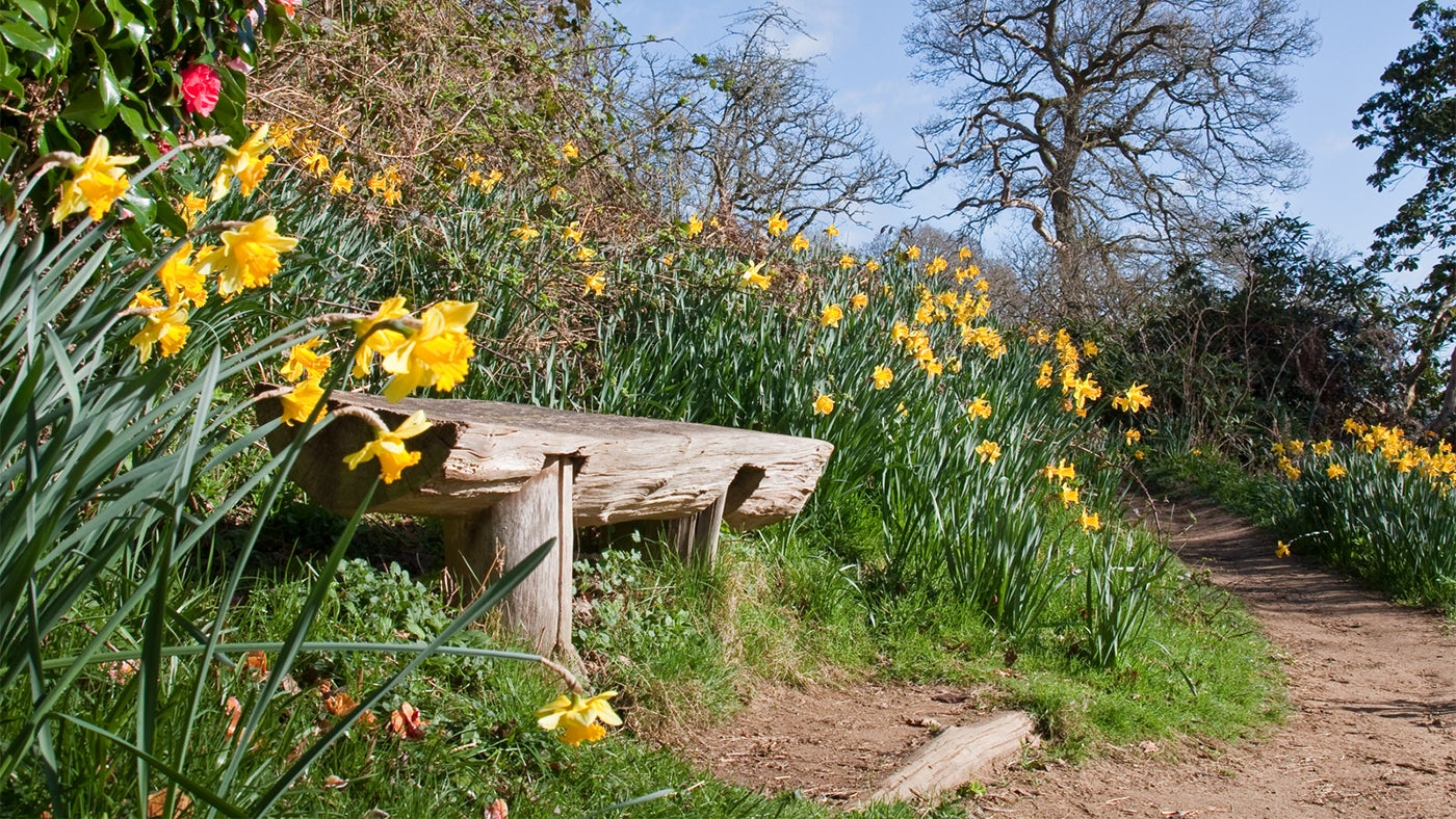A bench surrounded by daffodils at Winkworth Arboretum, Surrey
