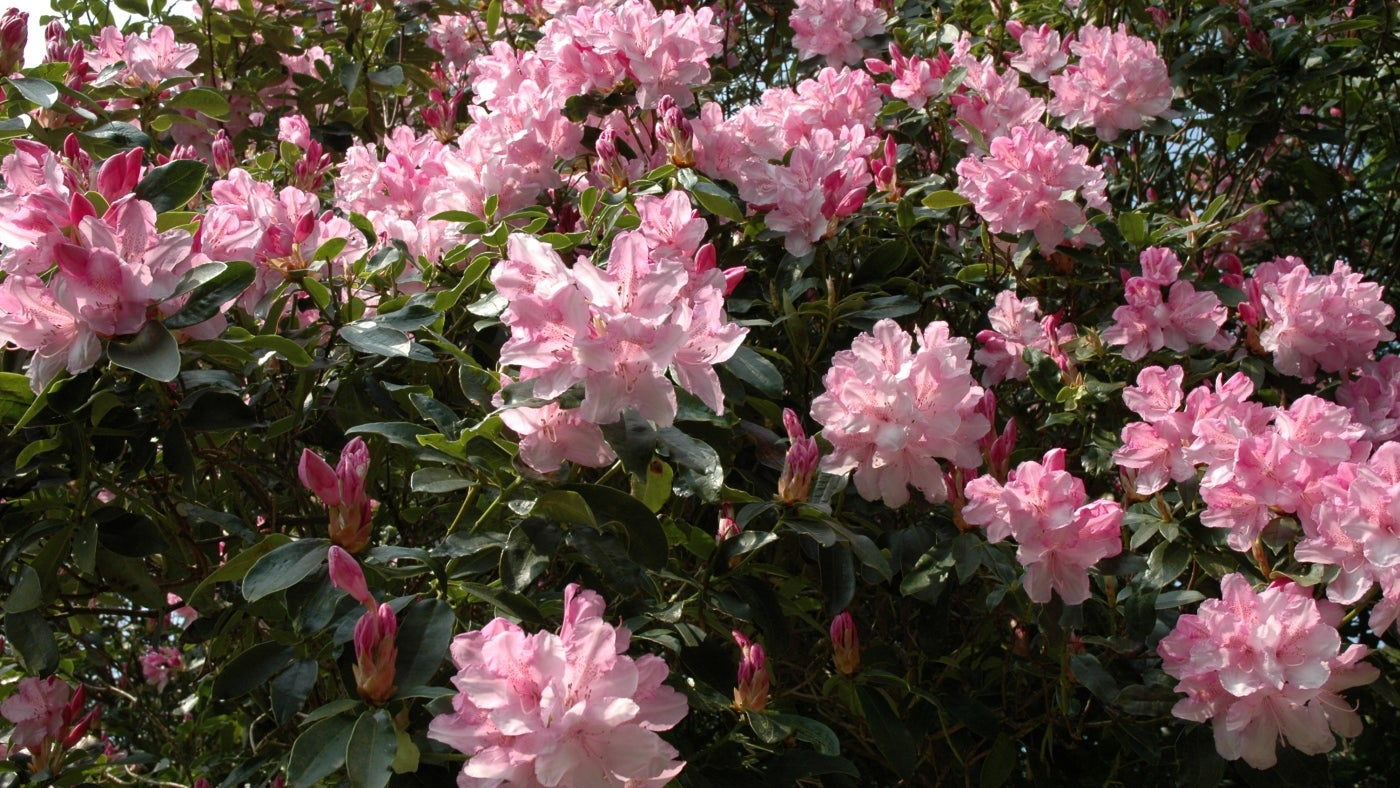 a mass of pink rhododendron flowers at Glendurgan