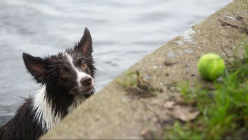 Dog in river waiting for owner to throw in a tennis ball