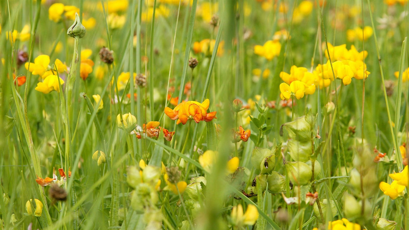 yellow rattle  and brids foot trefoil in meadow grass