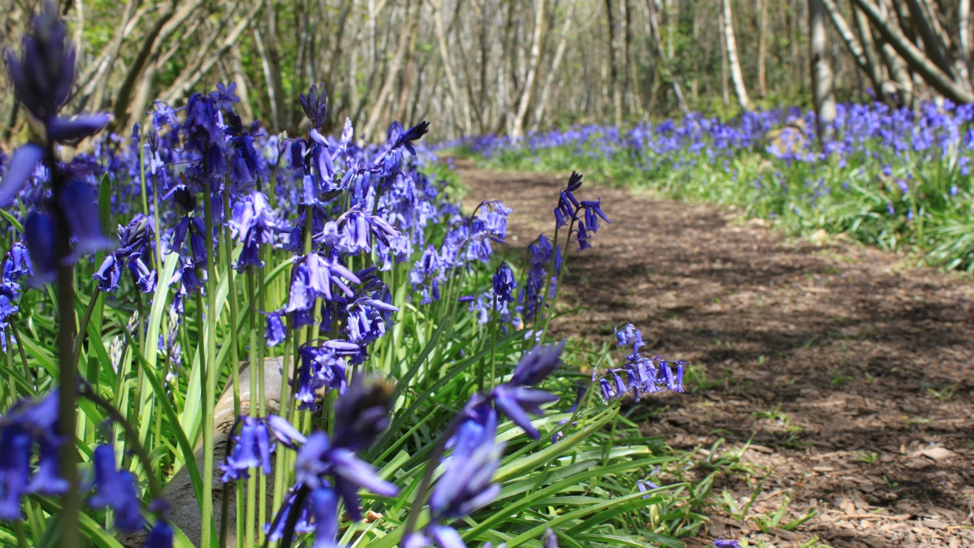 English native bluebells at Chartwell, a National Trust property in Kent