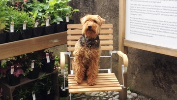 A terrier sitting on a chair in Wordsworth House courtyard