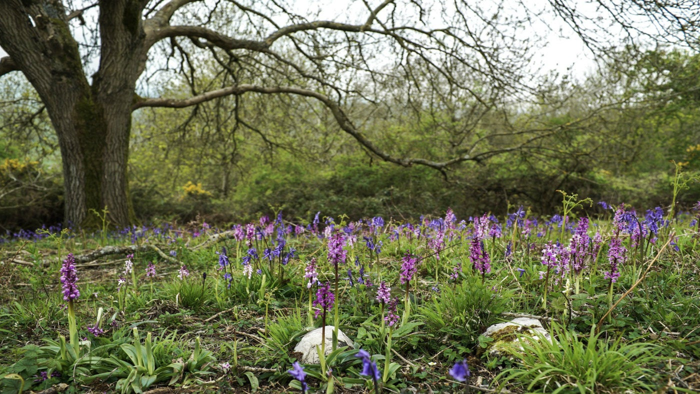 Early Purple Orchids and Bluebells growing under an Ash tree