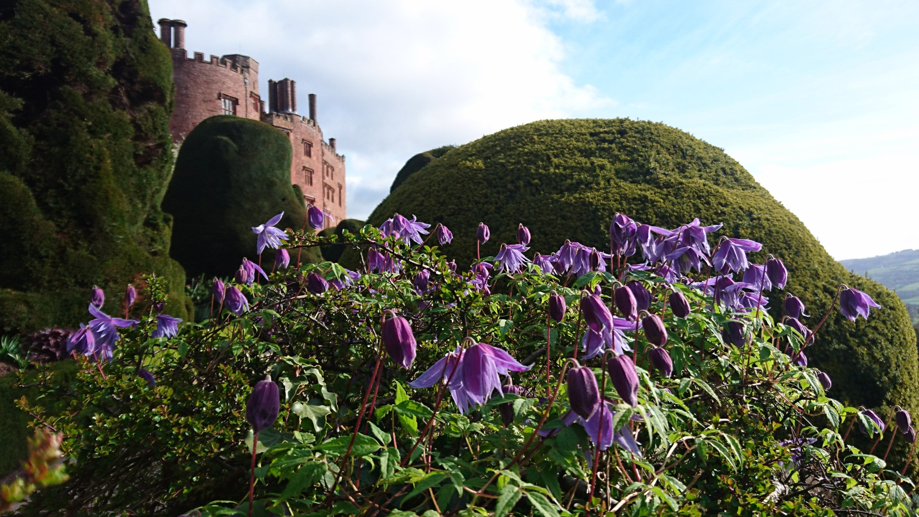 A Clematis macropetala flowering in front of the castle and yew hedges at National Trust's  Powis Castle and Garden, Powys, Wales.