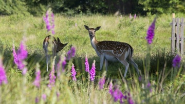 Fawns and foxgloves in Knole Park