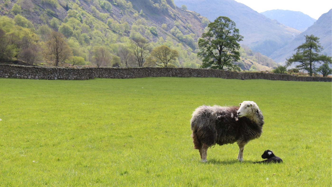 Herdwick and her lamb