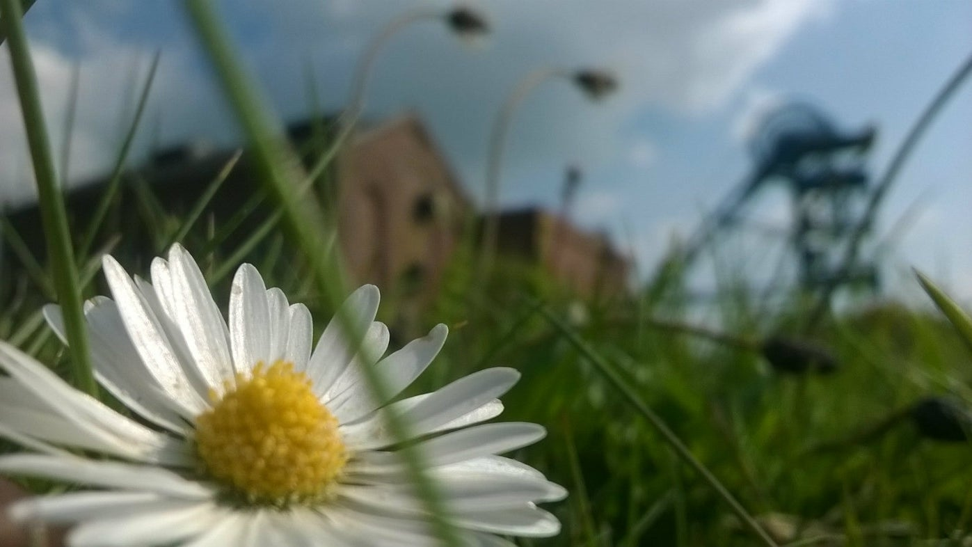 A daisy in front of Haig Pit, Whitehaven