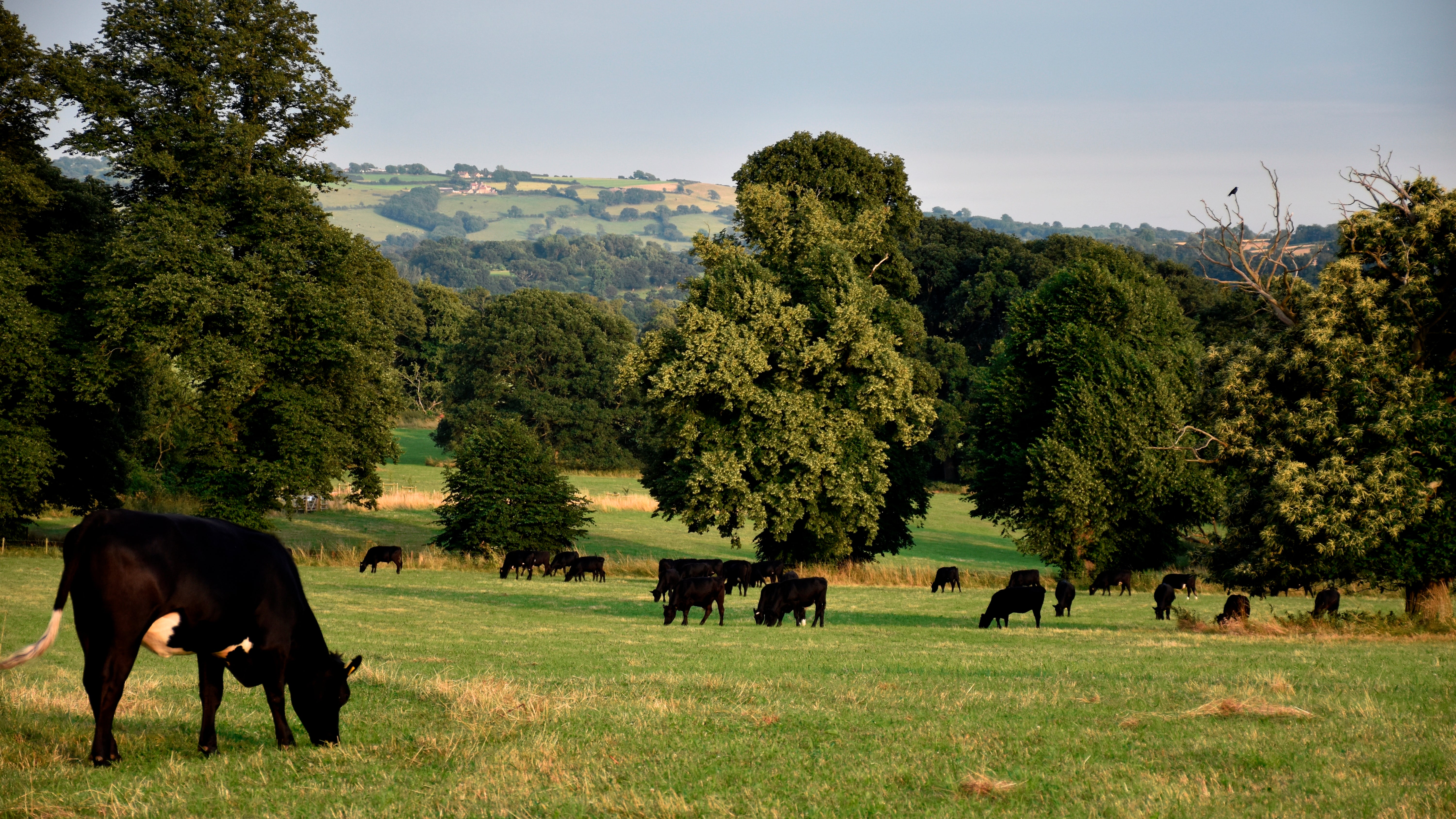 Grazing cows on the Tyntesfield estate