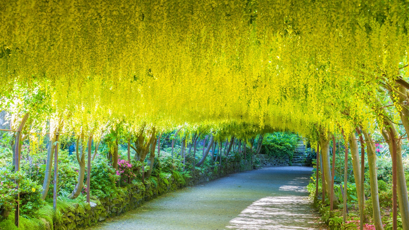 The golden laburnum arch at Bodnant