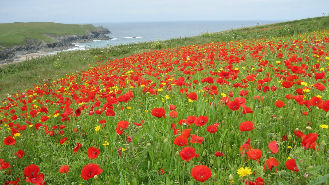 West Pentire wows us with wildflowers | National Trust