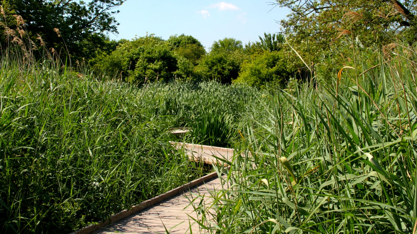 Morden Hall Park's wetland boardwalk in summer